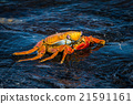 Sally Lightfoot crab on wet black rock 21591161