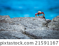 Sally Lightfoot crab perched on rocky horizon 21591167