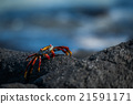 Sally Lightfoot crab walking along black rock 21591171