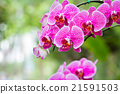Magenta orchid flowers 21591503