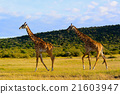 在肯尼亚/麒麟附近散步 21603947