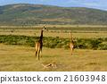 穿过肯尼亚和长颈鹿群的黑斑羚 21603948