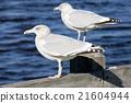 sea gulls, Maine, USA 21604944