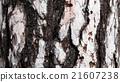 Bark of white Pine Tree. 21607238