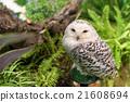 Portrait of white snowy owl 21608694