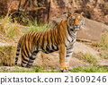 An Indian tiger in the wild. Royal, Bengal tiger 21609246