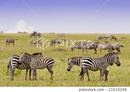 Group of Zebras in the Savannah 21610208