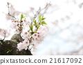櫻花 21617092