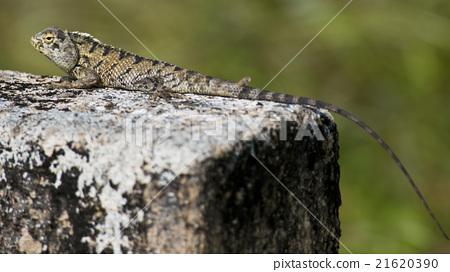 Indian Lizard 21620390