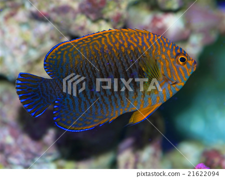 Potters Pygmy Angelfish 21622094