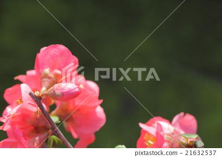 Flower bud of Koka Hana / Boku 21632537