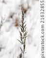 หญ้า,เมล็ดพันธุ์,ฤดูหนาว 21632855