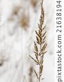 หญ้า,เมล็ดพันธุ์,ฤดูหนาว 21638194