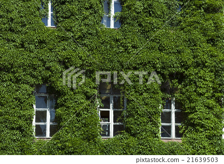 wall of the building, ivy   21639503
