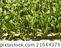 Field with sugar beet  21644379