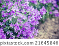 Macro view of a little Campanula flower 21645846