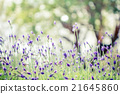Lavender flower. Beautiful lavender flower 21645860