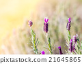 Field of Lavender 21645865