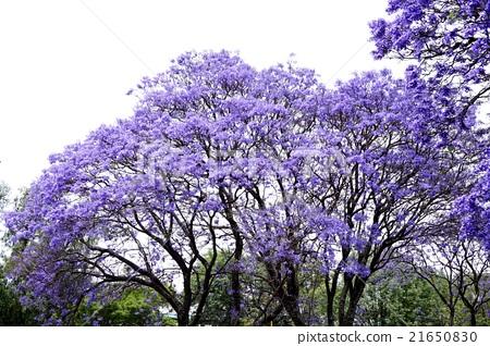藍花楹大樹 21650830