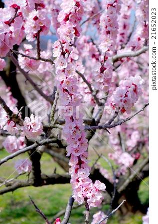 살구 꽃 21652023
