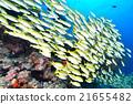 魚 四帶笛鯛 水下照片 21655482