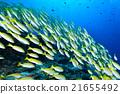魚 四帶笛鯛 水下照片 21655492