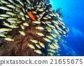 魚 水下照片 熱帶魚 21655675