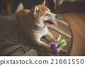 shina inu on the floor with toys 21661550
