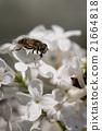 果蠅與丁香 21664818