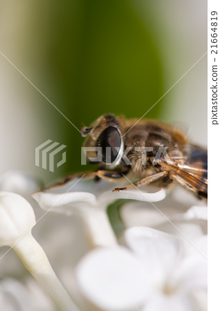 果蝇与丁香 21664819