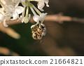 採蜜的蜜蜂 21664821