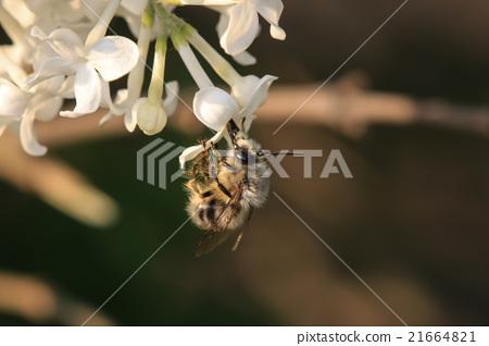 采蜜的蜜蜂 21664821