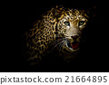Close up portrait of leopard with intense eyes 21664895