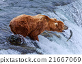 Grizzly Bears of alaska 21667069