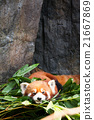 Cute red panda laying down 21667869