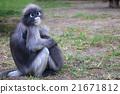 monkey, monkeys, tail 21671812