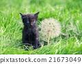 kitten, dandelion, grass 21673049