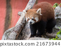 red panda close up portrait 21673944