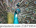peacock bird close up portrait 21673954