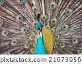 peacock bird close up portrait 21673956