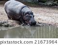 hyppopotamus hippo close up portrait 21673964