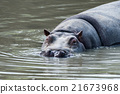 hyppopotamus hippo close up portrait 21673968