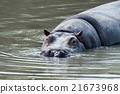 hyppopotamus hippo close up portrait 21673968