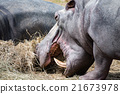 hyppopotamus hippo close up portrait 21673978