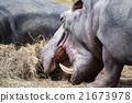 hyppopotamus hippo close up portrait 21673978