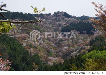World Heritage Sakura of Yoshino-san 21679294