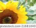 向日葵和青蛙 21681040