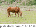 Horses eating grass in the field 21681234