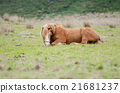 Horses in the field is sitting on the grass 21681237
