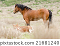 Horses in the field is standing on the dry grass 21681240